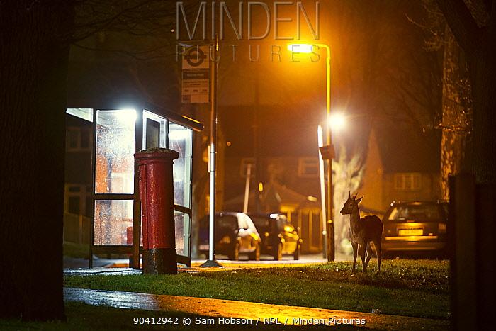 Fallow deer (Dama dama) beside bus stop and letterbox London, UK January  -  Sam Hobson/ npl