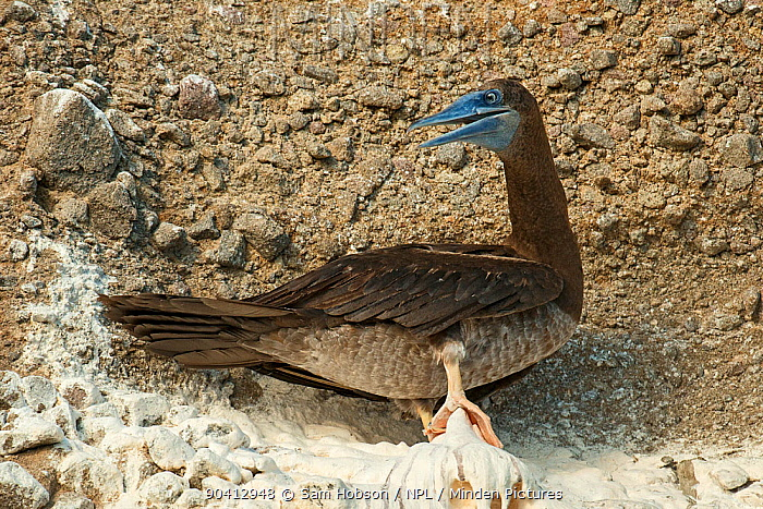 Brown booby (Sula leucogaster) on cliff Soufri?re, Saint Lucia  -  Sam Hobson/ npl