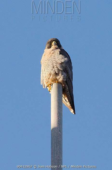 Peregrine falcon (Falco peregrinus), adult male perched on top of scaffold pole Bristol, UK January  -  Sam Hobson/ npl