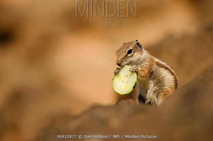 Barbary ground squirrel (Atlantoxerus getulus) with slice of cucumber Fuerteventura, Canary Islands, Spain April  -  Sam Hobson/ npl