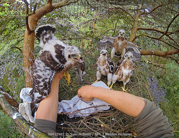 Northern goshawk (Accipiter gentilis) nestlings inside treetop nest, handled by Dr Norbert Kenntner Part of an urban goshawk colour ringing study Berlin, Germany May 2014 Small reproduction only  -  Sam Hobson/ npl