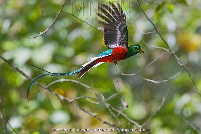 Minden Pictures stock photos - Resplendent quetzal ...