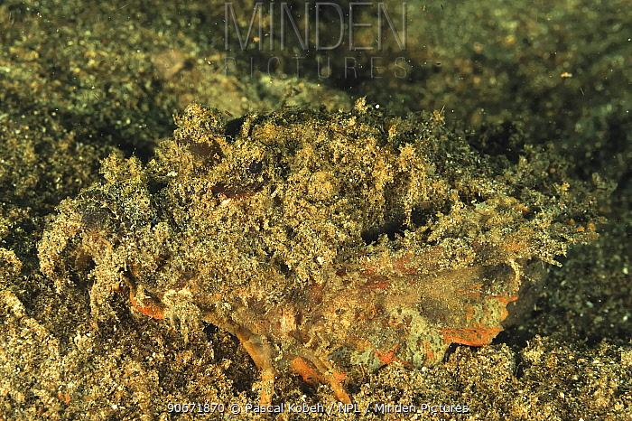 Spiny devilfish (Inimicus didactylus) camouflaged on sand, Manado, Indonesia Sulawesi Sea  -  Pascal Kobeh/ npl