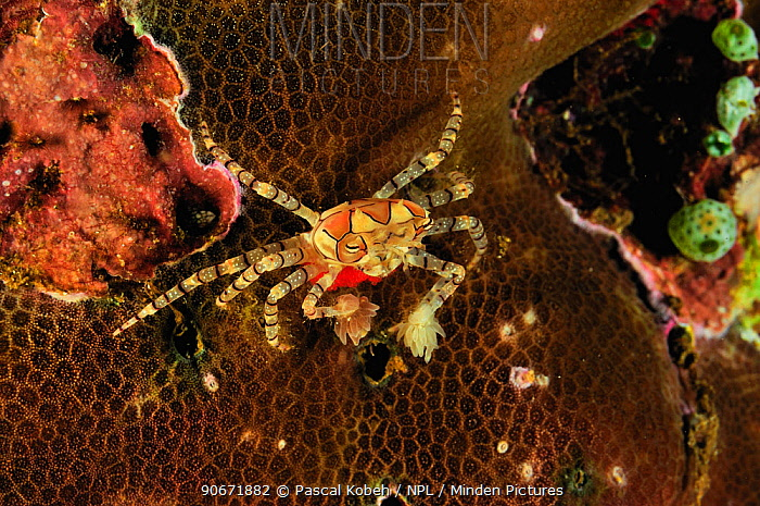 Boxer, Pompom crab (Lybia tesselata) with eggs underneath, Manado, Indonesia Sulawesi Sea  -  Pascal Kobeh/ npl