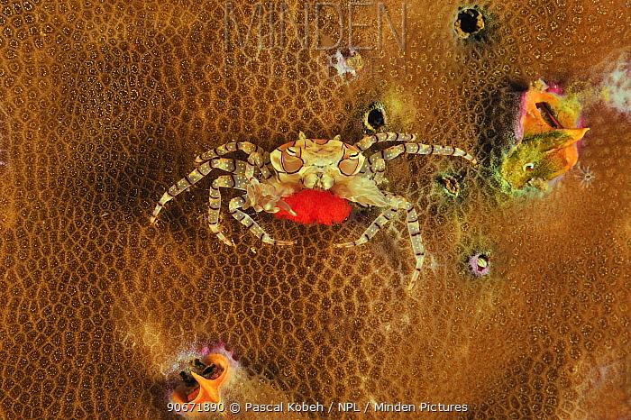 Boxer, Pompom crab (Lybia tessellata) holding its eggs on hard coral, Manado, Indonesia Sulawesi Sea  -  Pascal Kobeh/ npl