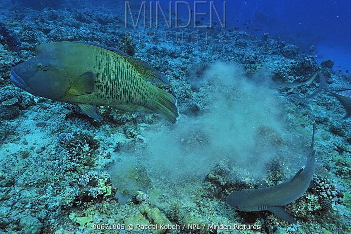 Napoleonfish, Maori wrasse (Cheilinus undulatus) and Whitetip reef shark (Triaenodon obesus) on bottom of the reef, Palau Philippine Sea  -  Pascal Kobeh/ npl
