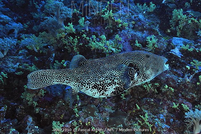 Blue streak cleaner wrasse (Labroides dimidiatus) cleaning Mappa pufferfish (Arothron mappa) Palau Philippine Sea  -  Pascal Kobeh/ npl