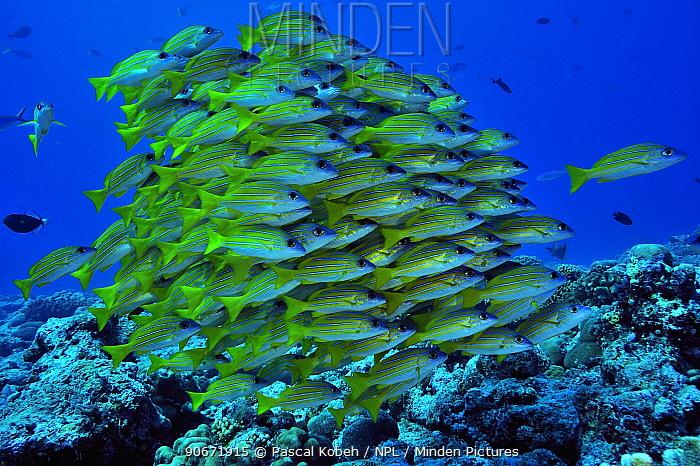 School of Bluelined, Bluestriped snappers (Lutjanus kasmira) Palau Philippine Sea  -  Pascal Kobeh/ npl