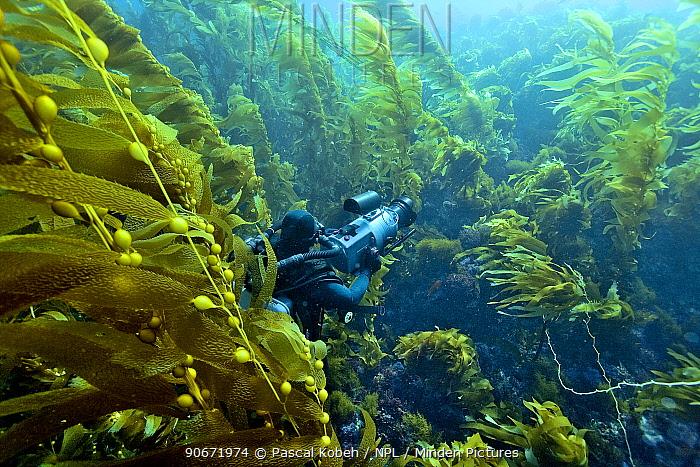 Underwater cameraman filming a kelp forest (Macrocystis pyrifera), California, USA Pacific ocean November 2006  -  Pascal Kobeh/ npl
