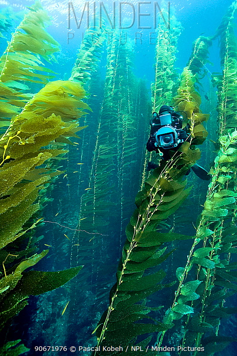 Underwater cameraman is filming a Kelp forest (Macrocystis pyrifera), California, USA Pacific ocean November 2006  -  Pascal Kobeh/ npl