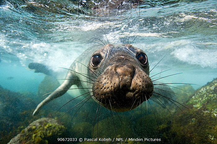 Young Northern elephant seal (Mirounga angustirostris) in very shallow water, Guadalupe island, Mexico Pacific Ocean  -  Pascal Kobeh/ npl