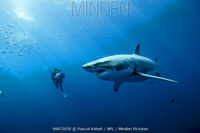 Cameraman filming a Great white shark (Carcharodon carcharias) in open water, Guadalupe island, Mexico Pacific Ocean November 2006  -  Pascal Kobeh/ npl