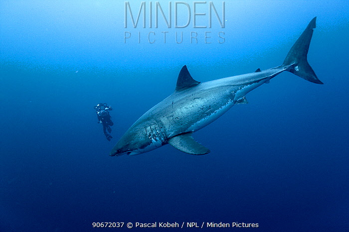 Cameraman filming Great white shark (Carcharodon carcharias) in open water, Guadalupe island, Mexico Pacific Ocean November 2006  -  Pascal Kobeh/ npl