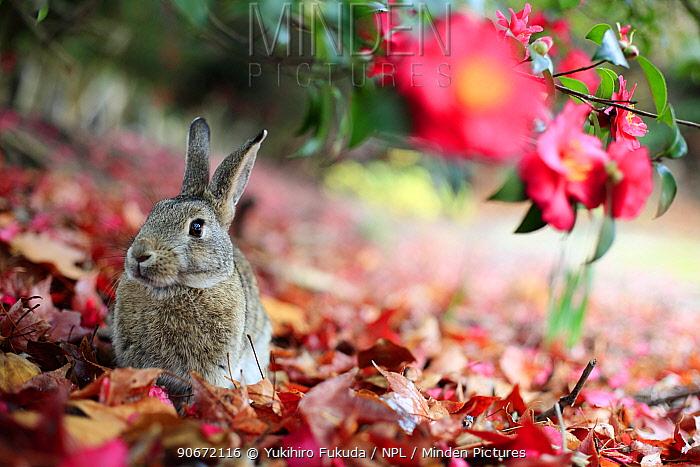Rabbit sitting alert under flower, Okunoshima Rabbit Island, Takehara, Hiroshima, Japan, January 2010  -  Yukihiro Fukuda/ npl