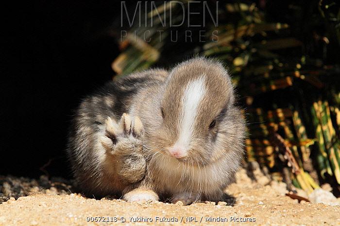 Baby rabbit with back paw raised, Okunoshima Rabbit Island, Takehara, Hiroshima, Japan  -  Yukihiro Fukuda/ npl