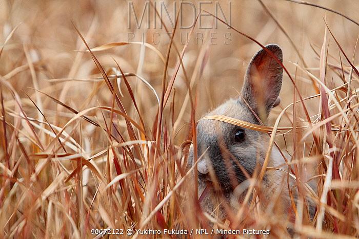 Young rabbit hiding in grass, Okunoshima Rabbit island, Takehara, Hiroshima, Japan  -  Yukihiro Fukuda/ npl