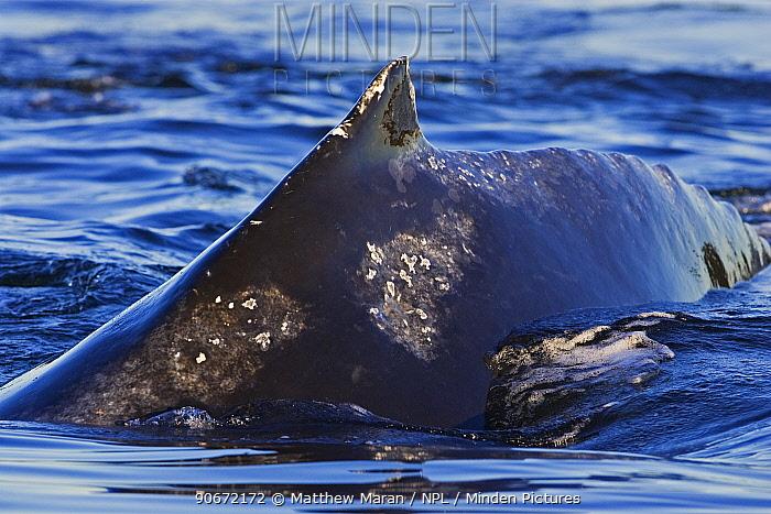 Humpback whale (Megaptera novaeangliae) surfacing showing small dorsal fin and barnacle scars, Barkley Sound, Vancouver Island,  -  Matthew Maran/ npl