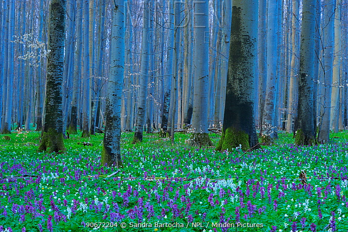 Holewort (Corydalis cava) flowering in European beech (Fagus sylvatica) forest, Eldena nature reserve, near Greifswald, Germany, April  -  Sandra Bartocha/ npl