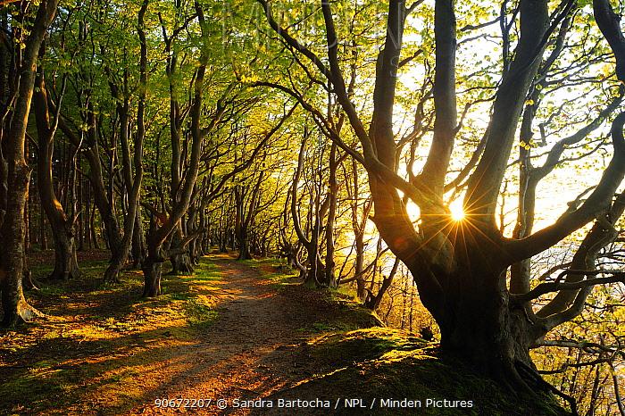 Sunlight through European beech (Fagus sylvatica) trees along coastal footpath, Marchenwald, Rugen, Germany, May  -  Sandra Bartocha/ npl