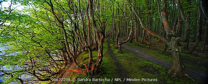 European beech (Fagus sylvatica) trees along coastal footpath, Marchenwald, Rugen, Germany, May  -  Sandra Bartocha/ npl