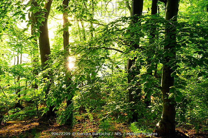 European beech (Fagus sylvatica) forest at lake edge Nemerower Forest, Neubrandenburg, Germany, May  -  Sandra Bartocha/ npl