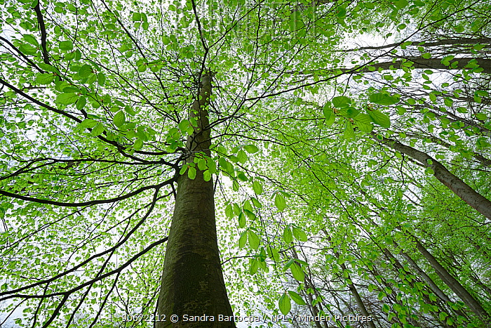 European beech (Fagus sylvatica) trees, Eldena nature reserve, near Greifswald, Germany, April  -  Sandra Bartocha/ npl