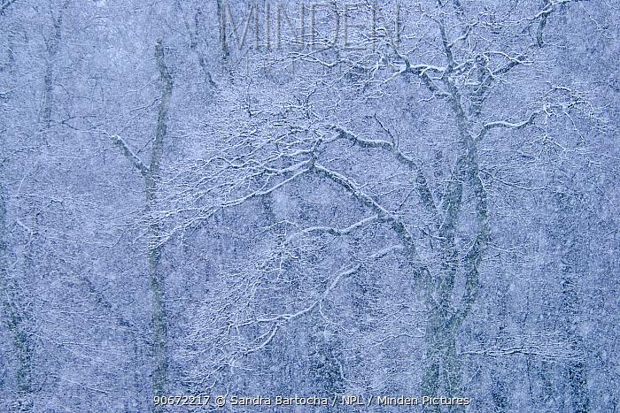 European beech (Fagus sylvatica) forest in snow, Wittow, Rugen, Germany, January  -  Sandra Bartocha/ npl