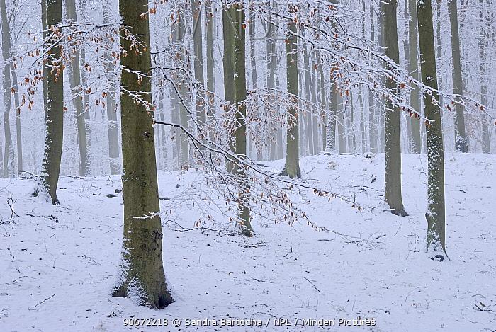 European beech (Fagus sylvatica) trees with final autumn leaves covered in snow Near Neubrandenburg, Germany, January  -  Sandra Bartocha/ npl
