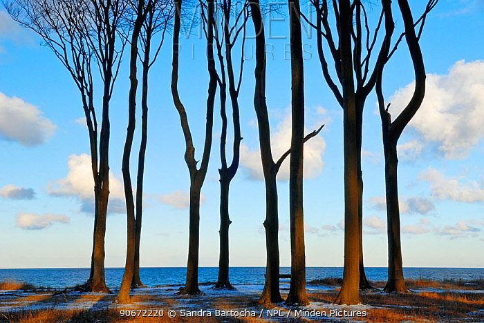 Coastal European beech (Fagus sylvatica) trees in winter, Gespensterwald, Nienhagen, Germany, January  -  Sandra Bartocha/ npl