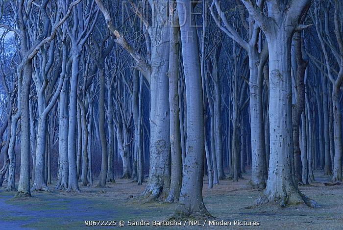 Coastal European beech (Fagus sylvatica) forest in twilight, Gespensterwald, Nienhagen, Germany, April  -  Sandra Bartocha/ npl