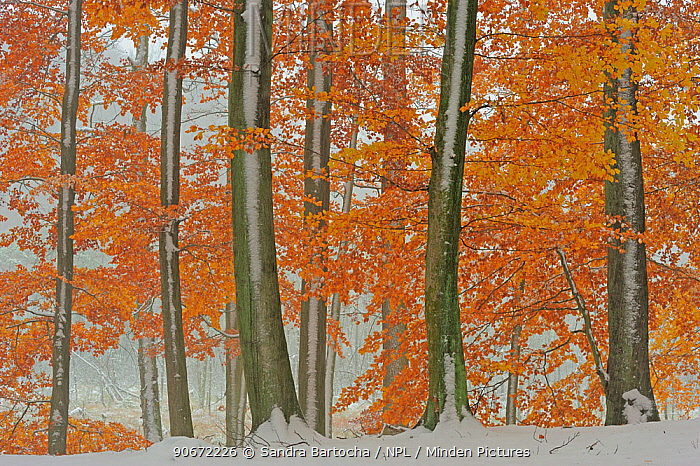 European beech (Fagus sylvatica) trees with last leaves in autumn and first snow on the ground Serrahn, Muritz-National Park, World Natural Heritage site, Germany, November  -  Sandra Bartocha/ npl