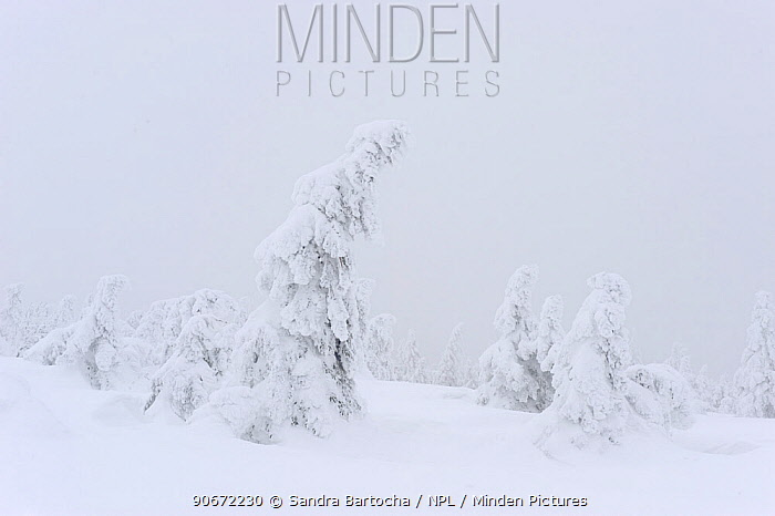 Norway spruce (Picea abies) trees covered in snow, Harz National Park, Brocken, Germany, February 2010  -  Sandra Bartocha/ npl