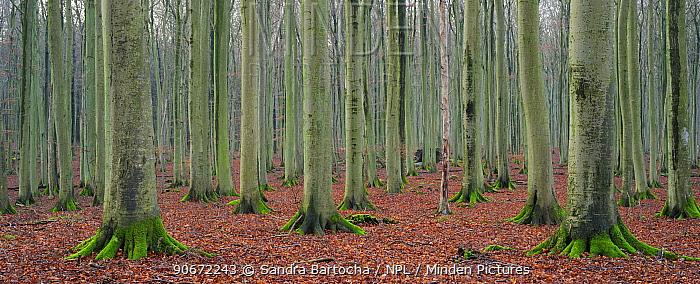 European beech (Fagus sylvatica) forest in winter, Jasmund National Park, World Natural Heritage site, Rugen, Germany, December  -  Sandra Bartocha/ npl