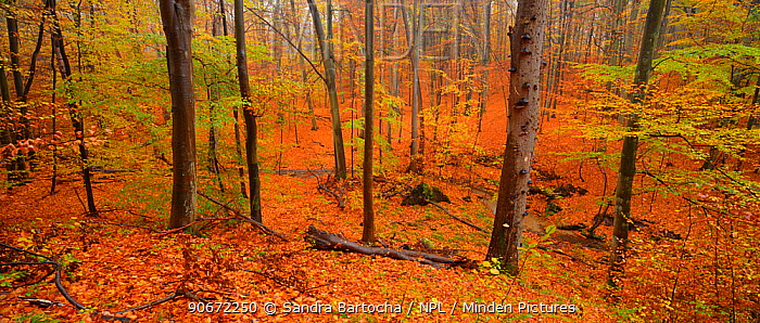 European beech (Fagus sylvatica) forest in autumn, Barnimer Heide, Barnim Nature Park, Germany, October 2012  -  Sandra Bartocha/ npl