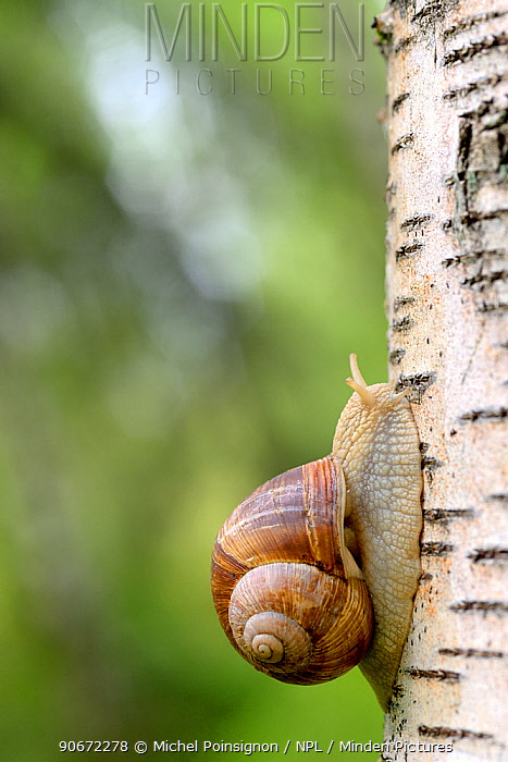 Edible snail (Helix pomatia) on Birch tree, Moselle, France, June  -  Michel Poinsignon/ npl