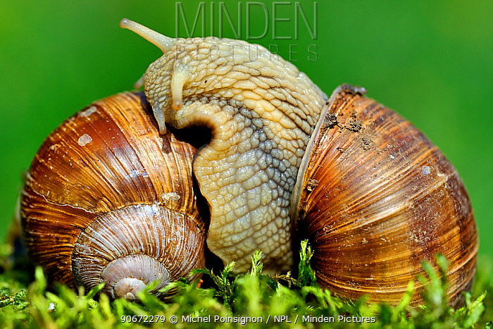 Edible snails (Helix pomatia) mating, Moselle, France, June  -  Michel Poinsignon/ npl