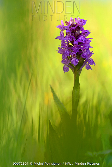 Irish march orchid (Dactylorhiza majalis) in flower, Sainte Marguerite, France, May  -  Michel Poinsignon/ npl