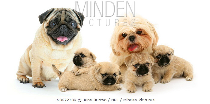 Minden Pictures Stock Photos Pug X Shih Tzu Pugzu Cross Puppies