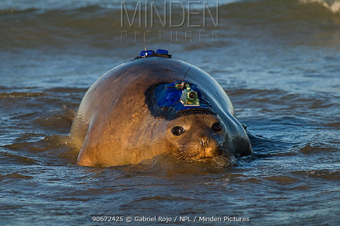 Southern elephant seal (Mirounga leonina) female with camera and transmitter Caleta Valdes, Valdes Peninsula, Chubut, Patagonia, Argentina  -  Gabriel Rojo/ npl