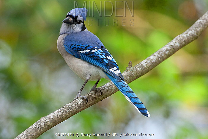 Blue jay (Cyanocitta cristata), North Florida, USA, April  -  Barry Mansell/ npl