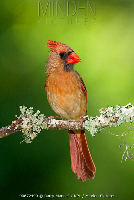 Northern cardinal (Cardinalis cardinalis) female North Florida, USA, May  -  Barry Mansell/ npl