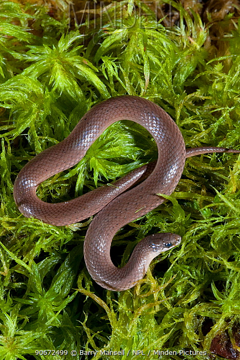 Smooth earth snake (Virginia valeriae), Controlled conditions North West Florida, USA, April  -  Barry Mansell/ npl