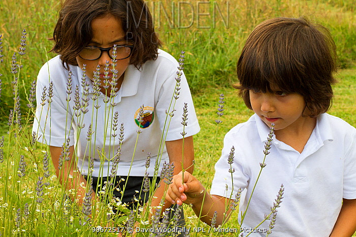 Young boys looking at Lavender (Lavandula sp) flowers planted in school garden to attract bees Part of the Friends of the Earth national Bee Friendly campaign, South Wales, UK, July 2014 Model released  -  David Woodfall/ npl