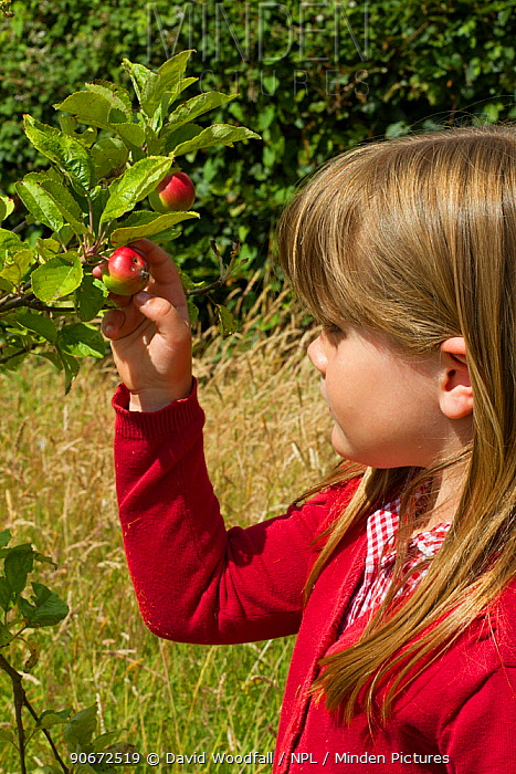 Young girl looking at ripening apples (Malus domestica) planted in school garden to attract bees Part of the Friends of the Earth national Bee Friendly campaign, South Wales, UK, July 2014 Model released  -  David Woodfall/ npl