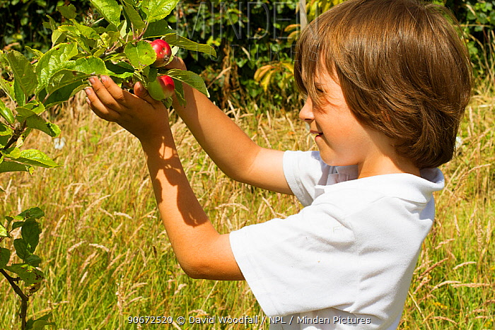 Young boy looking at ripening apples (Malus domestica) planted in school garden to attract bees Part of the Friends of the Earth national Bee Friendly campaign, South Wales, UK, July 2014 Model released  -  David Woodfall/ npl