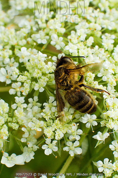 Dead Honey bee (Apis mellifera) on Wild carrot (Daucus carotta) flowers, cause of death unknown Cwmbran, South Wales, UK, July  -  David Woodfall/ npl
