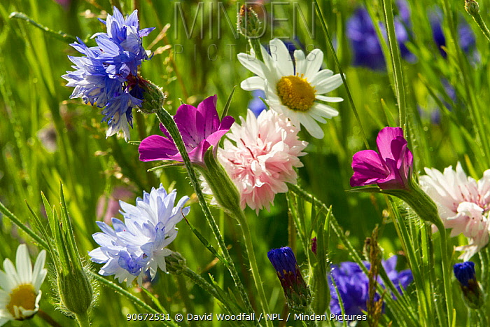 Corncockle (Agrostemma githago), Cornflowers (Centaurea cyanus) and Ox eye daisies (Chrysanthemum leucanthemum) planted to attract bees as part of the Friends of the Earth Bee Friendly campaign South Wales, UK, July 2014  -  David Woodfall/ npl
