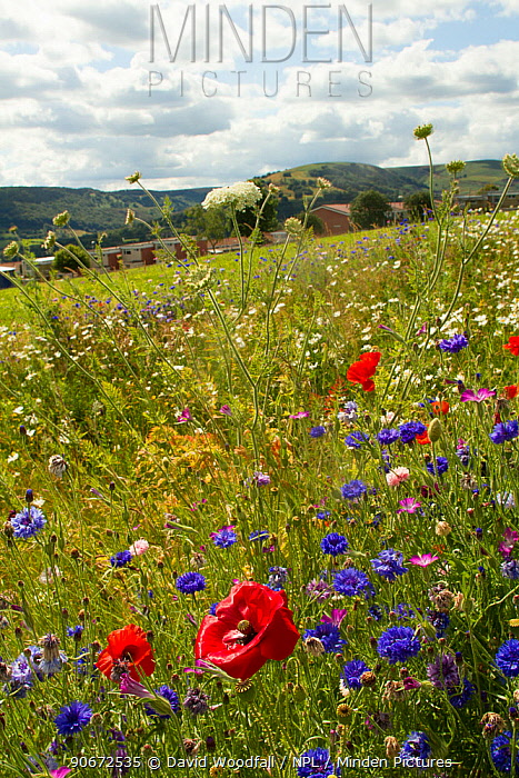 Wildflowers including Wild carrot (Daucus carota), Poppies (Papaver sp) and Cornflowers (Centaurea cyanus) planted in community green space to attract bees Part of a collaboration between Bron Afon community Housing Trust and the Friends of the Earth Bee Friendly project South Wales, UK, July 2014  -  David Woodfall/ npl