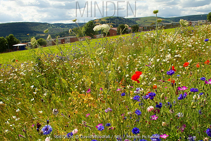 Wildflowers including Wild carrot (Daucus carota) and Cornflowers (Centaurea cyanus) planted in community green space to attract bees Part of collaboration between Bron Afon community Housing Trust and the Friends of the Earth Bee Friendly project South Wales, UK, July 2014  -  David Woodfall/ npl