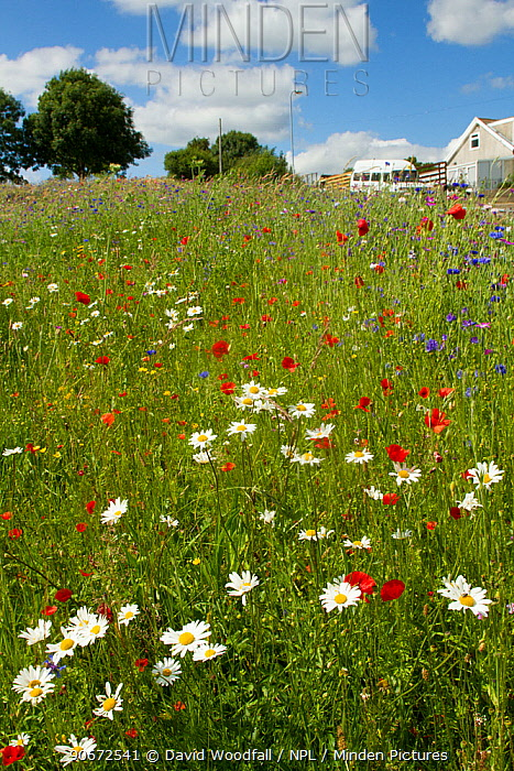 Wildflowers including Poppies (Papaver sp) and Ox eye daisies (Chrysanthemum leucanthemum) planted in community green space to attract bees Part of a collaboration between Bron Afon community Housing Trust and the Friends of the Earth Bee Friendly project South Wales, UK, July 2014  -  David Woodfall/ npl